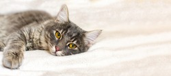 Sad sick young gray cat lies on a white fluffy blanket in a veterinary clinic for pets. Depressed illness animal looks at the camera. Feline health background with copy space.