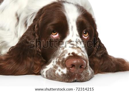 Sad Springer Spaniel lying on a white background