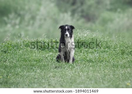 Sad wet border collie on meadow Foto stock ©