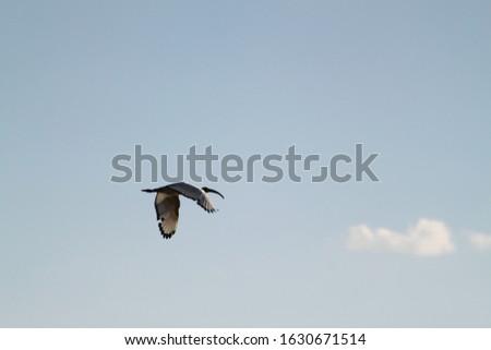 Saddle bill large water bird