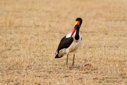 Saddle-billed Stork at Maasai Mara National Reserve, Ephippiorhynchus senegalensis, Kenya, Africa