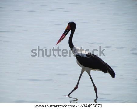 Saddle-billed stork (Ephippiorhynchus senegalensis) wading, Selous, Tanzania