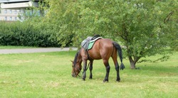 Saddled horse in the city square. The animal bowed its head and chews the green grass. On a horse - Saddle blanket, bridle, reins, bit, support.