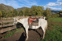 Saddled horse on a leash in a village, Gorny Altai, Western Siberia, tourism