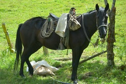 saddled peasant horse ready for the peasant's work