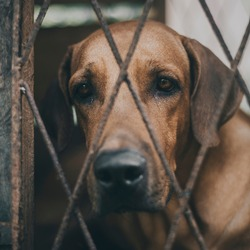 Sadness and lonelyness expression of the ridgeback dog's face close up photograph, dog in a cage looking at the camera through the iron cage fence.