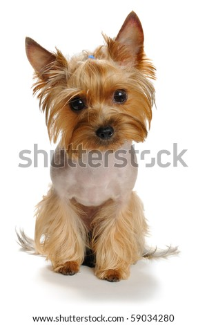 sadness yorkshire terrier  on the white background