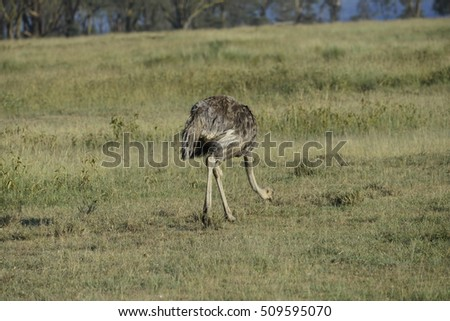 Safari at Kenya #509595070
