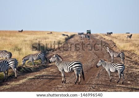 safari car is nearing the grazing zebras  - national park masai mara in kenya