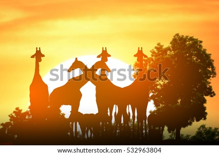 Safari in Africa. Silhouette giraffe and zebra stand with sunset background