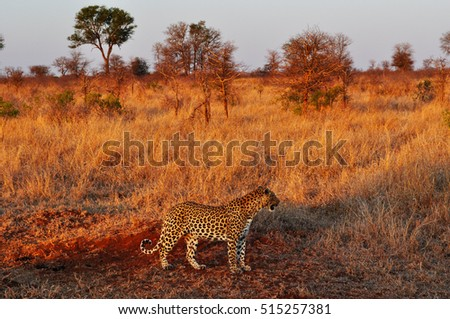 Safari in South Africa, 09/28/2009: african leopard at sunset in a grassland of Kruger National Park, one of the largest game reserves in Africa since 1898, South Africa's first national park in 1926 #515257381