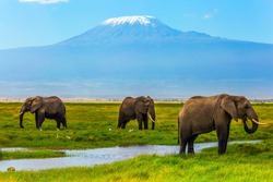 Safari - tour to the famous Amboseli Reserve, Kenya. Wild animals in natural habitat. African elephants at Mount Kilimanjaro. The concept of exotic, ecological and phototourism