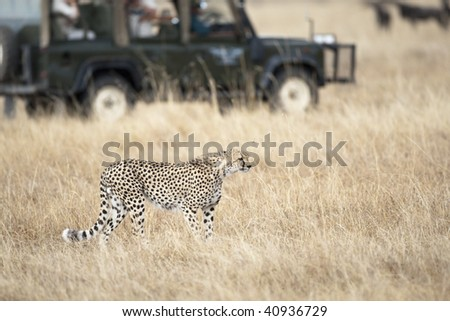 Safari tourists observing a cheetah, focus on foreground, blurred background, Masai Mara, Republic of Kenya