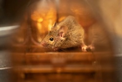 Safe and humane solution for dealing with unwanted mice or mouse