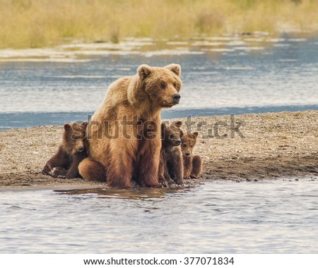 Safe With Mom - Three grizzly bear cubs snuggle up with mom for safety from wild and dangerous world around them. Katmai National Park, Alaska.