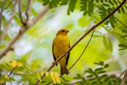 Saffron Finch perched on a twig against bright green background, Pantanal Wetlands, Mato Grosso, Brazil