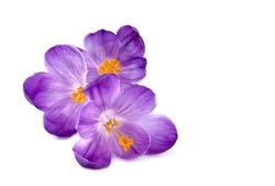 Saffron  flowers in closeup. Macro.