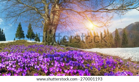 Free photos alpine flowers bloom in the field after snow melted saffron geyfelya first spring flowers that bloom right after melting of snow and ice in mightylinksfo