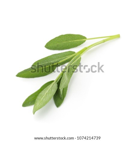 Sage plant isolated on a white background. #1074214739