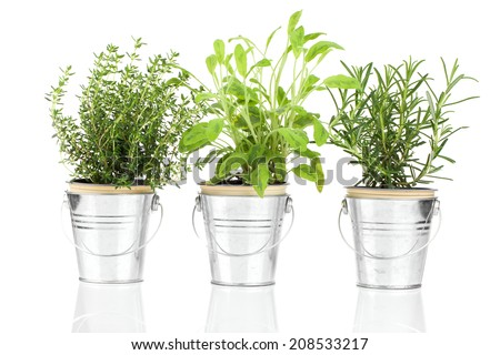 Sage, thyme and rosemary herb plant growing in a distressed pewter pot, isolated over white background. Salvia. #208533217