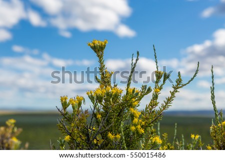 sagebrush blooming in the...