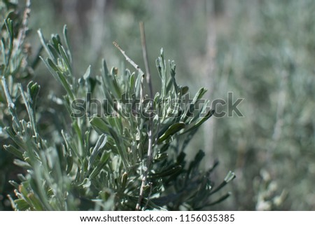 Sagebrush in the meadow