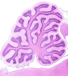 Sagittal section of a rabbit cerebellum showing many ramified cerebellar folia. In each folium the molecular and granular layers and the central axis of white matter can be seen. HE stain