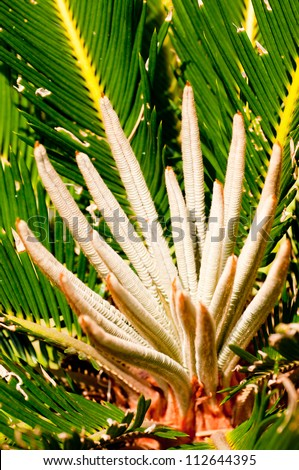 Sago palm flowers close up in the sun