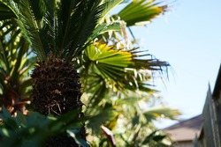 Sago palm trees in the backyard. These palms bring shade and tranquility to our own personal oasis.