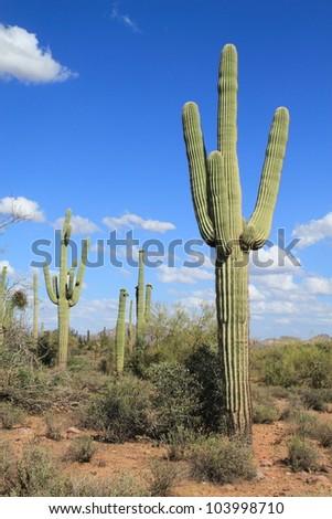 saguaro cacti dominate the Sonoran Desert landscape