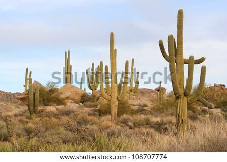 Saguaro cacti in the Sonoran Desert