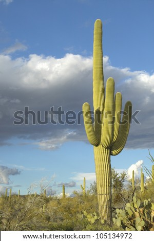 Saguaro Cactus and white puffy clouds in Springtime, Saguaro National Park West, Tucson, Arizona