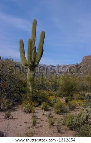 Saguaro cactus (Carnegiea gigantea) - mountains in background -  Sabino Canyon - Coronado National Forest - Tucson, Arizona