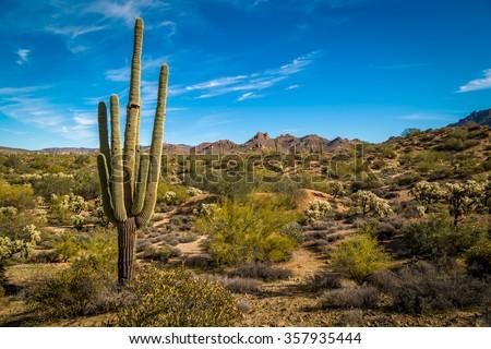 Saguaro Cactus in Arizona desert.