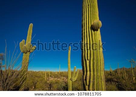 Saguaro Cactus in Saguaro National Park, Tucson, Arizona