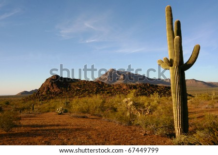 Saguaro Cactus in Sonoran Desert Arizona