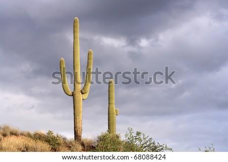 Saguaro cactus standing tall against stormy skies in the Sonoran Desert near Phoenix, Arizona