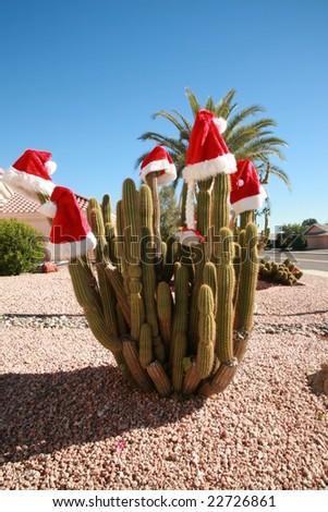 "Saguaro Cactus wear ""santa hats"" for christmas in arizona"