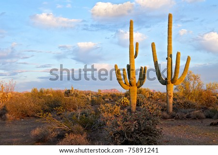Saguaros in days last light. - stock photo