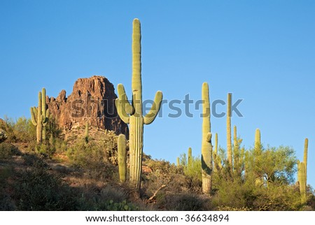 Saguaros in Sonoran Desert.