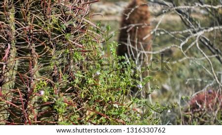 Sahuaro Cactus, Young