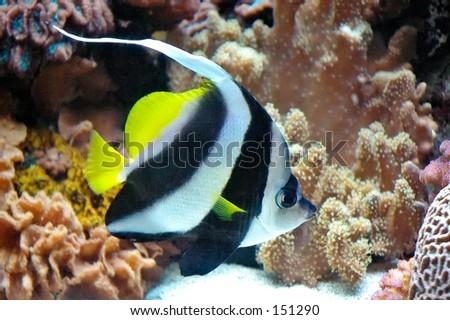 stock photo : Sailfin Tang (Zebrasoma veliferum) tropical fish in an aquarium