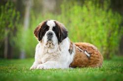 Saint bernard dog lying on the lawn