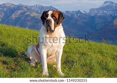 Saint Bernard Dog, male sitting in meadow, swiss alps in background