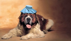 Saint Bernard dog with ice pack on his head
