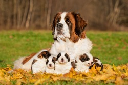 Saint bernard dog with puppies in autumn