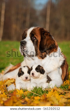 Saint bernard dog with puppies in autumn #161310512