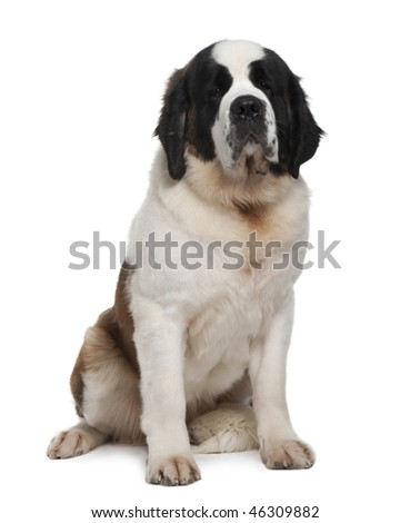 Saint Bernard, 15 months old, sitting in front of white background