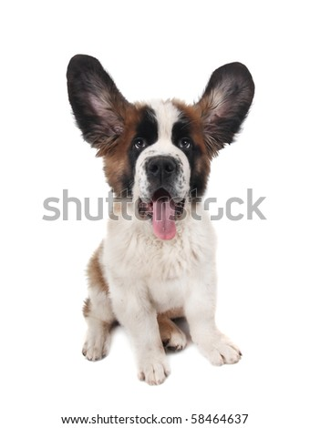 Saint Bernard Puppy Closeup With Big Ears on White Background