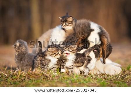 Saint bernard puppy with little kittens